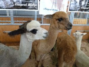 Hi I am an alpaca. The sheep are in the next shed.